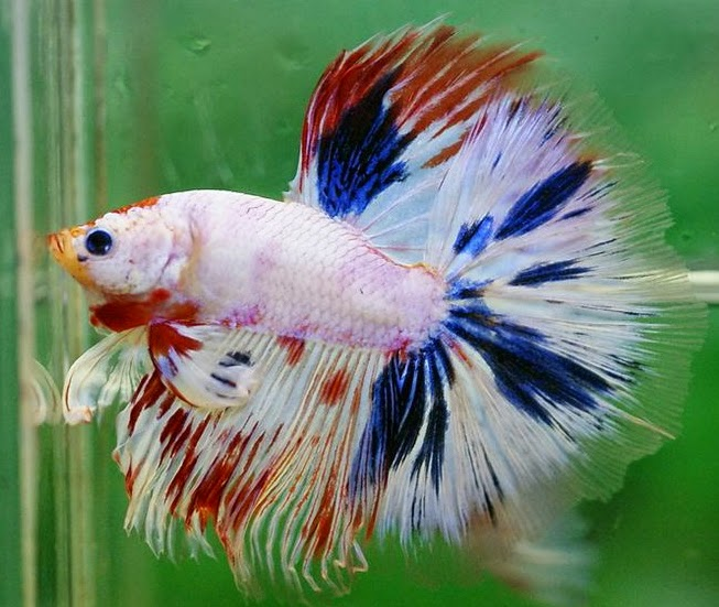 This image has an empty alt attribute; its file name is ca-betta-fancy-halfmoon.jpg