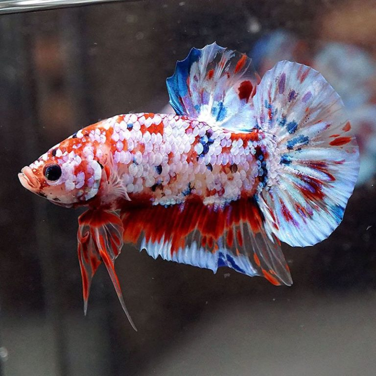This image has an empty alt attribute; its file name is ca-betta-fancy-koi.jpg