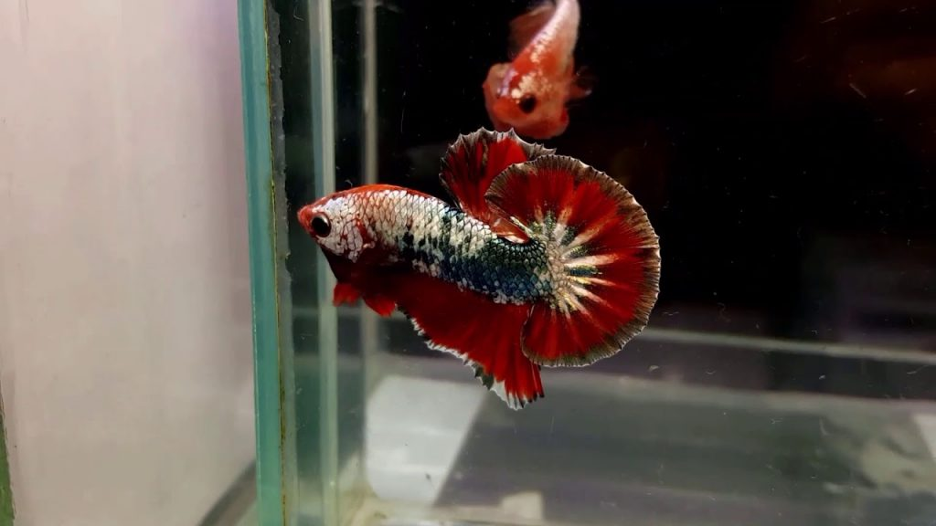 This image has an empty alt attribute; its file name is ca-betta-fanncy-copper-1024x576.jpg