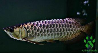Cá Rồng Bối Tím là cá gì, Ăn gì, Cách nuôi, Giá bao nhiêu 2021?