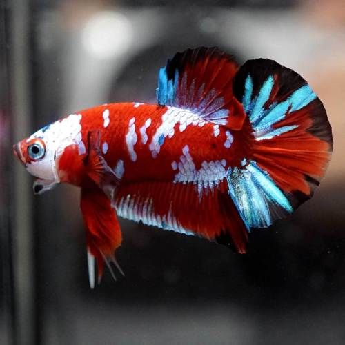 This image has an empty alt attribute; its file name is cach-ep-ca-betta-fancy.jpg