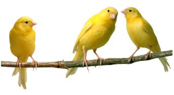 Chim Hoàng Yến (Yến Hót) Giá bao nhiêu, Ăn gì, Cách chọn trống, Cách nuôi?