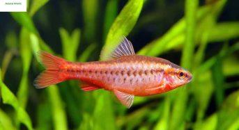 Cá Diếc Anh Đào ăn gì, Cách nuôi, Giá bao nhiêu tiền 1 con 2021