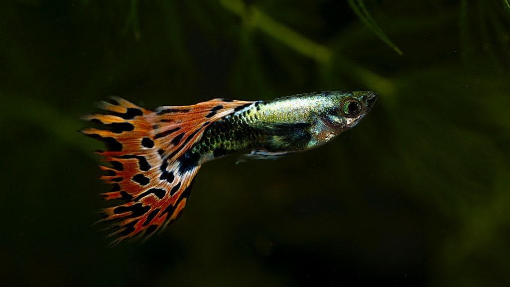 Cá Guppy rồng đỏ