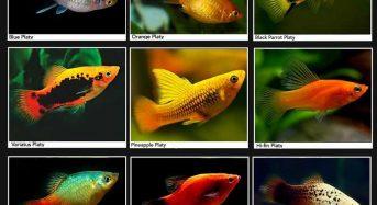Cá Mún (đỏ, hạt lựu, panda, đen, koi) ăn gì, Cách nuôi, Giá bao nhiêu 2021