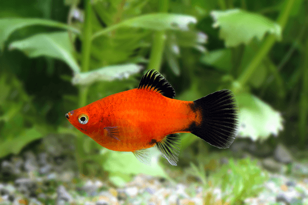 Cá Mún đuôi lửa