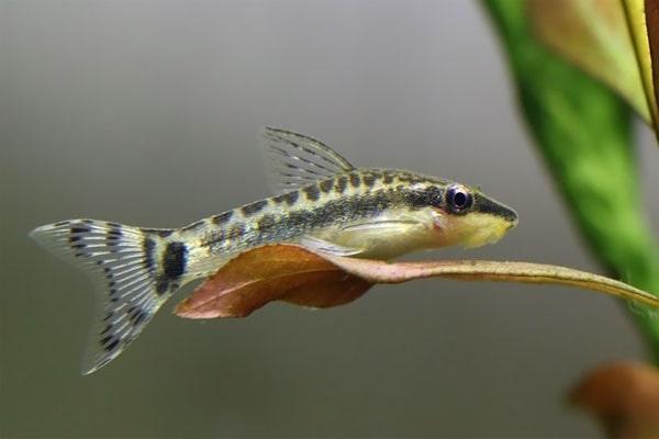 Cá Otto Giá