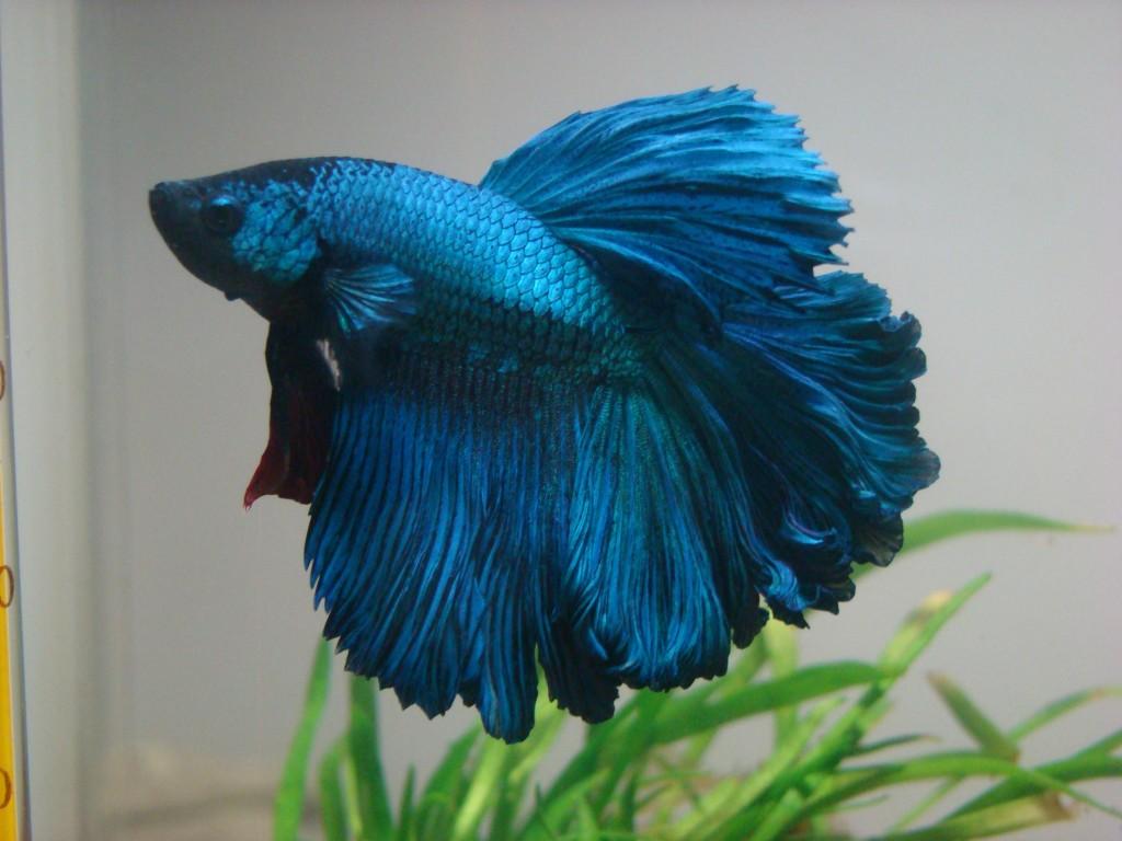 Cá Phướng xanh