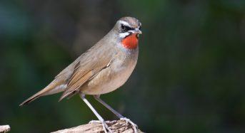 Chim oanh cổ đỏ sống ở đâu, Cách nuôi, Giá bao nhiêu tiền 2021