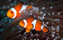 Cá Nemo Ăn gì, Cách setup bể, Cách nuôi, Giá bao nhiêu tiền 2021