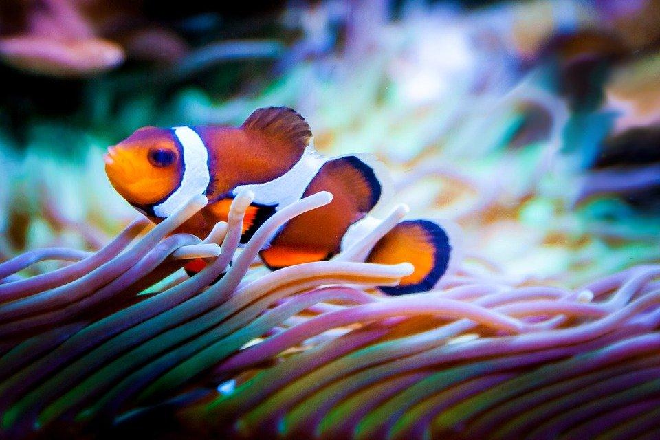 Cá nemo và hải quỳ