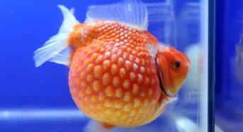 Cá Ping Pong mini ăn gì, Cách nuôi, Có cần oxy, Giá bao nhiêu 2021?