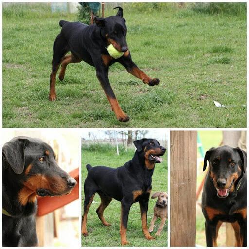 Chó Rottweiler lai Doberman