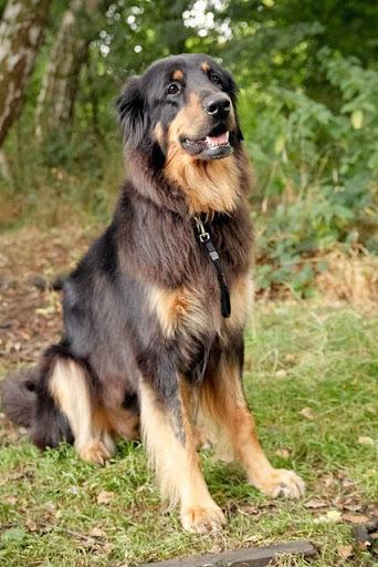 Chó Rottweiler lai Golden