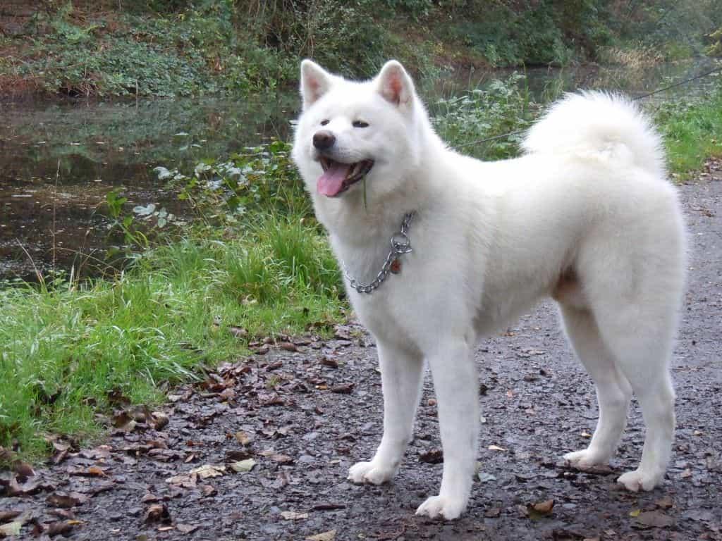 Chó Akita Inu