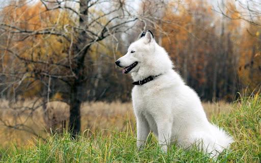 Chó Alaska lông trắng