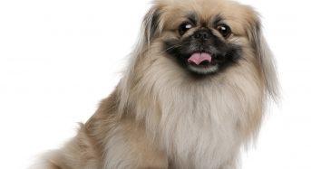 Top 4 shop bán chó Bắc Kinh lai Nhật TpHCM đẹp uy tín nhất 2021