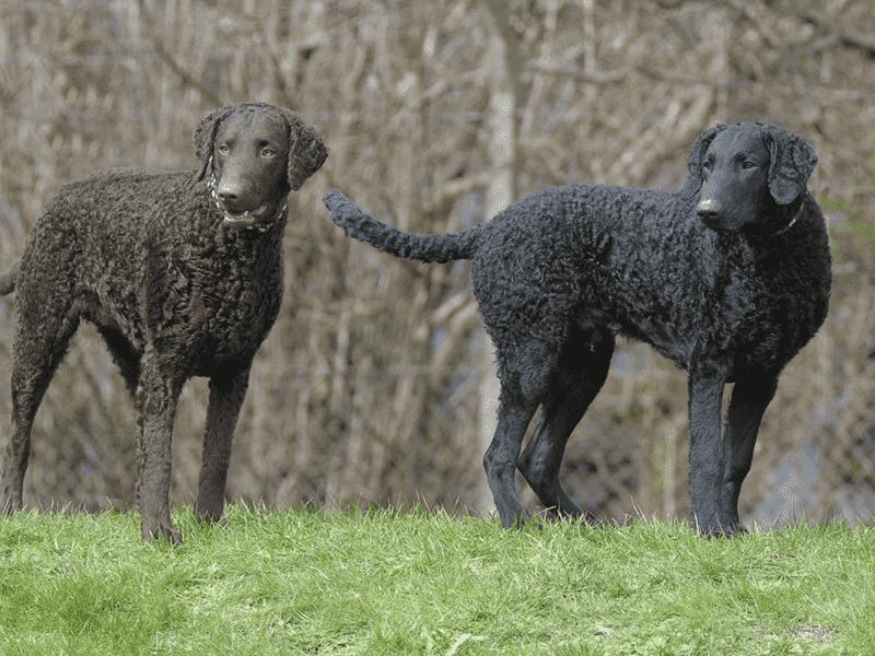 Chó Curly - Coated Retriever lông xoăn