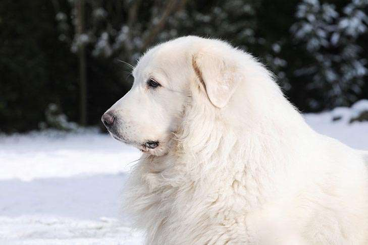 Chó Great Pyrenees trắng