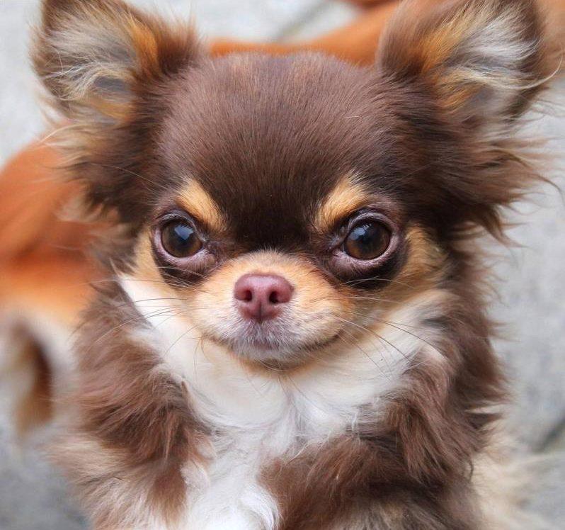 Chó lông xù màu nâu Chihuahua