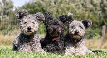 Top 9 giống chó lông xoăn Dễ Thương & Đẹp Nhất Mọi Thời Đại