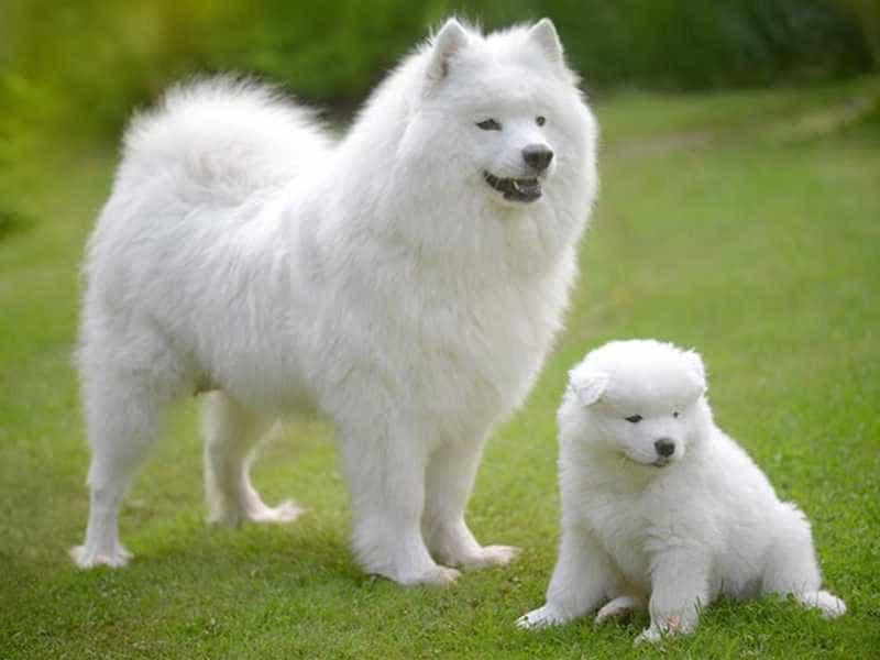 Chó Samoyed màu trắng
