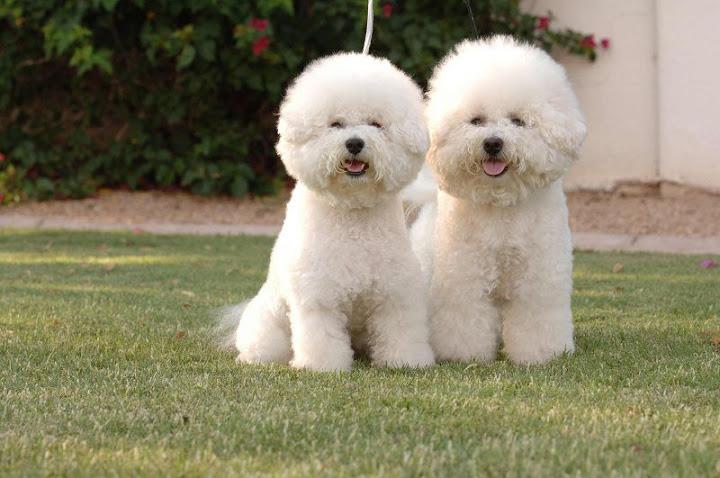 Chó trắng Bichon Frise