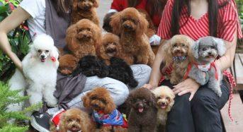 Top 8 cửa hàng mua bán chó Poodle TPHCM uy tín chất lượng nhất 2021