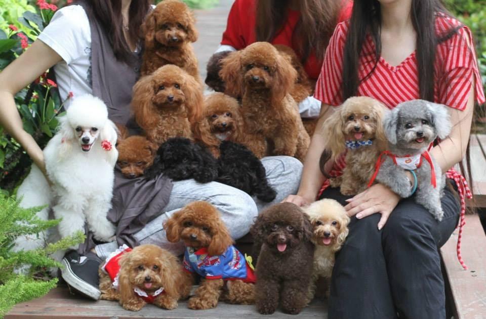 Địa chỉ bán chó Poodle uy tín ở TpHCM
