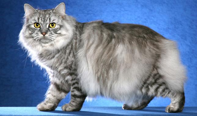 Mèo Cymric