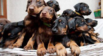 Top 6 cửa hàng mua chó Doberman con TpHCM đẹp chất lượng 2021