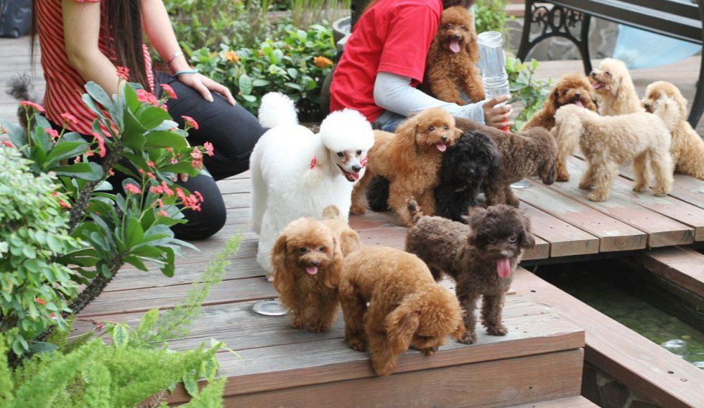 Nơi mua chó Poodle TpHCM chất lượng