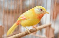 Chim Ngũ Sắc giá bao nhiêu tiền? Ăn thức ăn gì? Cách nuôi sinh sản