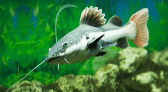 Cá Hồng Vĩ Mỏ Vịt ăn gì? Giá bao nhiêu tiền? Cách nuôi như thế nào?