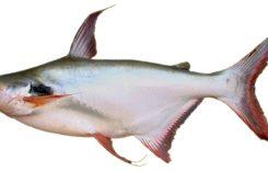 Cá Vồ (Đém, Cờ, Chó) ăn gì? Giá bao nhiêu tiền? Làm món gì ngon?