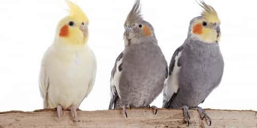 vet-Cockatiel-gia-bao-nhieu