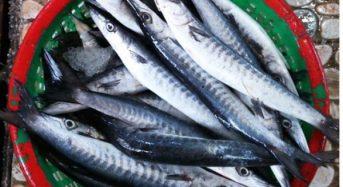 Cá Nhồng Biển là cá gì? Làm món gì, Giá bao nhiêu 1Kg, Mua ở đâu?
