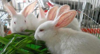 Giá thịt Thỏ hiện nay 2021 bao nhiều tiền 1Kg? Mua ở đâu ngon rẻ?