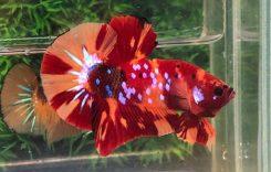 Cá Betta Koi (Galaxy, Nemo, Tiger, Hm) Cách nuôi, Cách ép, Giá bao nhiêu?