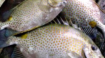 Cá Dìa là cá gì? Giá bao nhiêu tiền 1Kg, Làm món gì ngon?