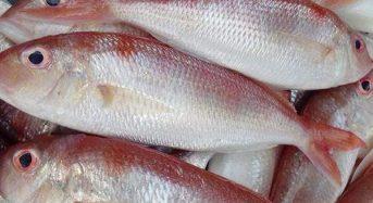 Cá Đổng là cá gì? Giá bao nhiêu tiền 1kg 2021, Làm món gì ngon?